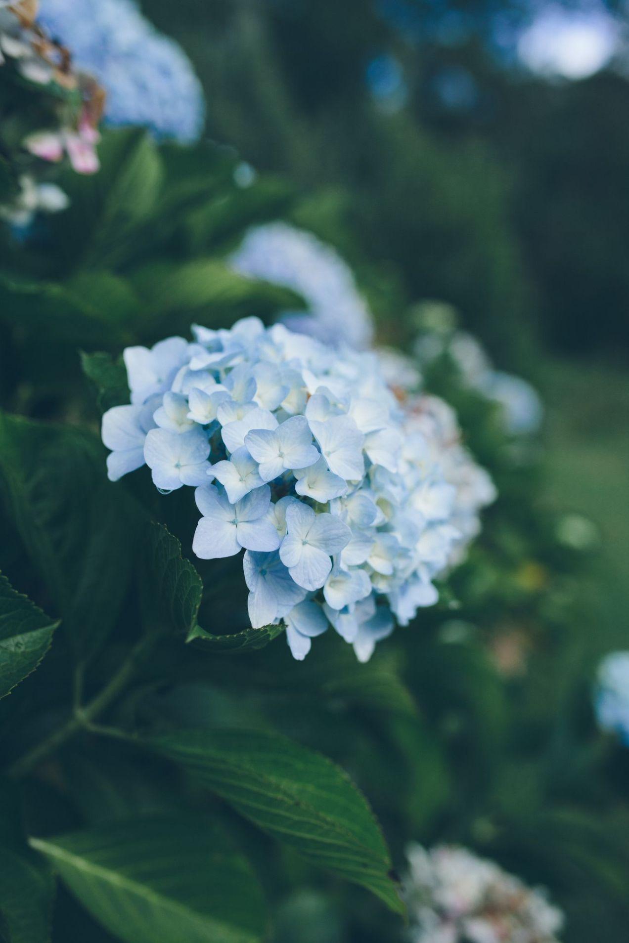 blue snowballs